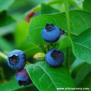 Vaccinium 'Early Blue'