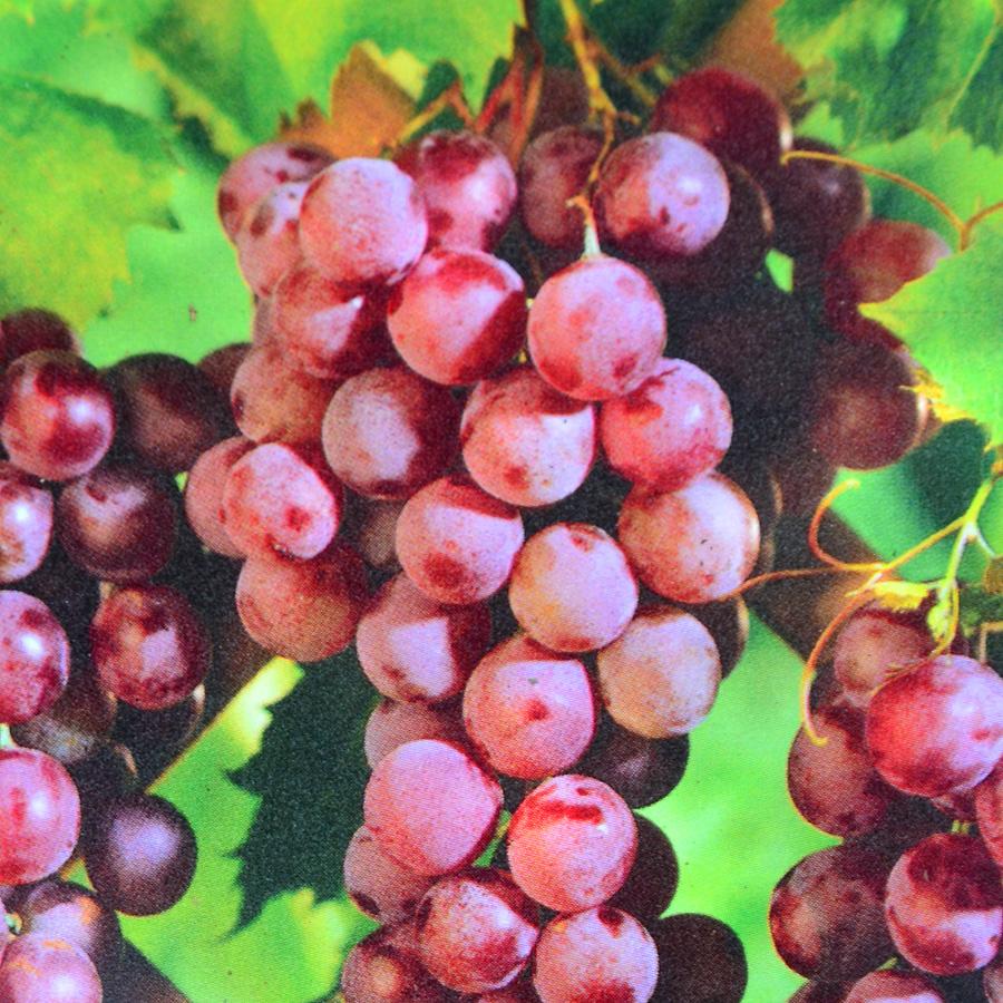 Grape Seedless Vanessa Art S Nursery