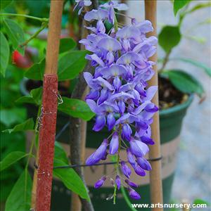 Wisteria floribunda 'Texas Purple'