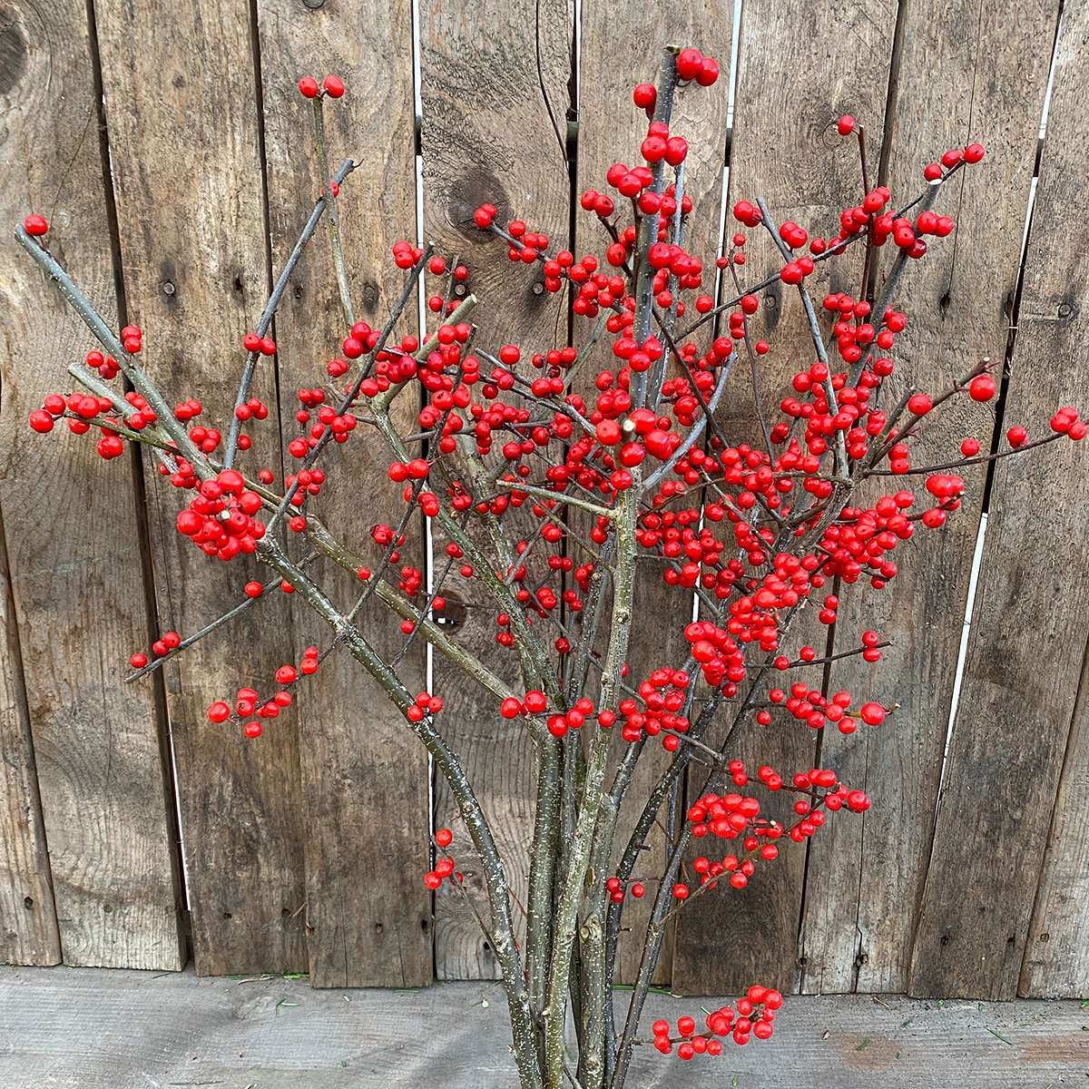 Christmas Greens - Deciduous Holly 10 Short Stems
