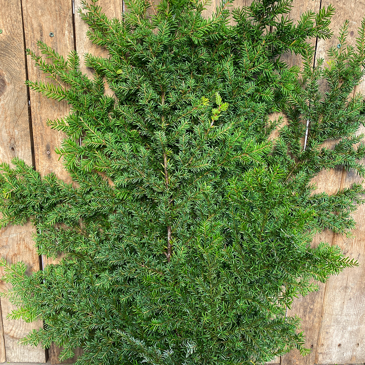 Christmas Greens - Hemlock Boughs