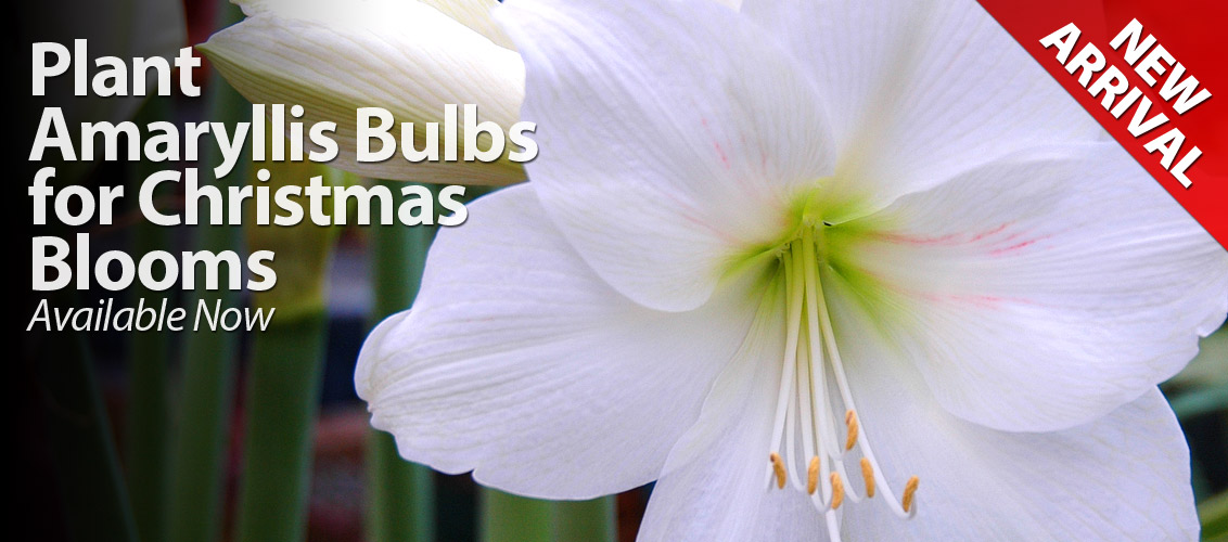 Amaryllis Bulbs Available now