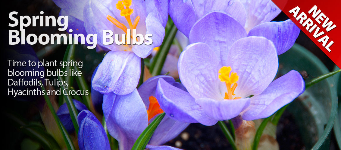 Spring Blooming Bulbs Have Arrived